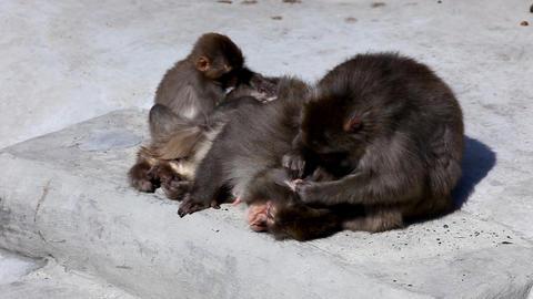 Monkey clear fur Stock Video Footage