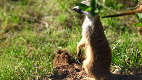 Meerkat - suricate on sunset Stock Video Footage