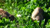 Meerkat - Suricate On Grass stock footage