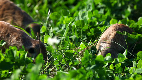 Meerkat - suricate on grass Stock Video Footage