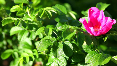 dog rose bush Stock Video Footage