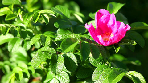 dog rose bush Stock Video Footage