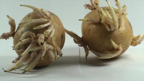 Two Potato Sprouts, Isolated On White, Organic, Fo Footage