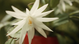 Hatiora gaertneri or Easter Cactus HD Stock Footag Footage