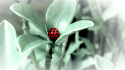 Ladybird on a plant HD Stock Footage Footage