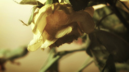 Yellow Flower Close Up Stock Footage stock footage