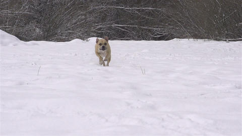 SLOW MOTION: Dog running towards camera in winter Footage
