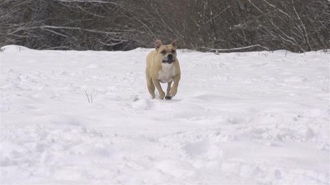 SLOW MOTION: Dog running towards camera Footage