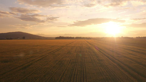 AERIAL: Flight over the wheat field at sunset Footage