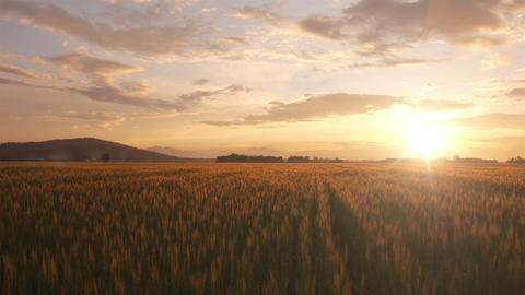 AERIAL: Golden wheat field in summer Footage
