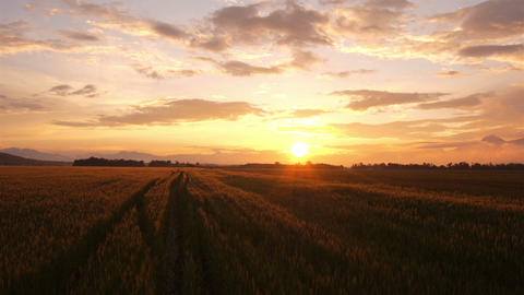 AERIAL: Wheat field at summer surise Footage