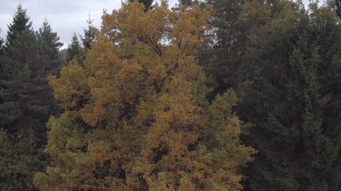 AERIAL VIEW: Autumn Forest stock footage