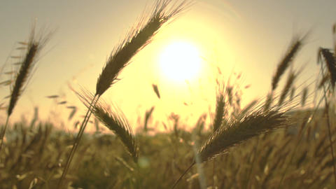 Wheat blades in the sun Footage