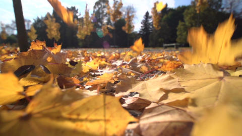 Falling Maple tree leaves on the ground in autumn, Footage