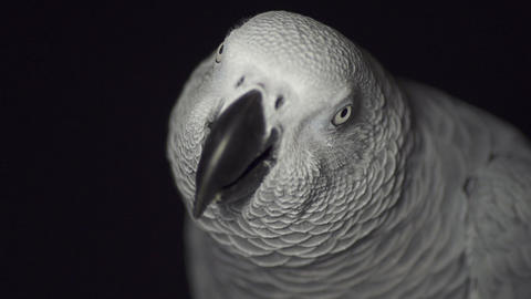 CLOSE UP: African grey parrot Live Action