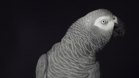 Grey parrot Footage