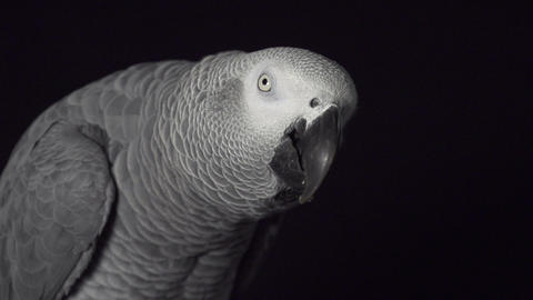 SLOW MOTION: African grey eating Live Action