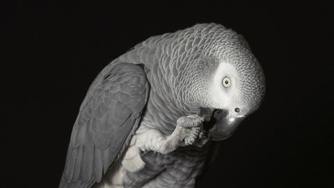 CLOSE UP: Parrot African Grey biting claw Live Action