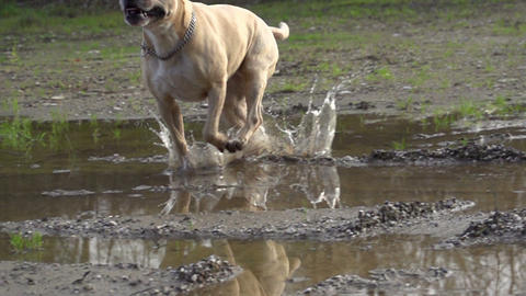 SLOW MOTION: Dog running over puddles Footage
