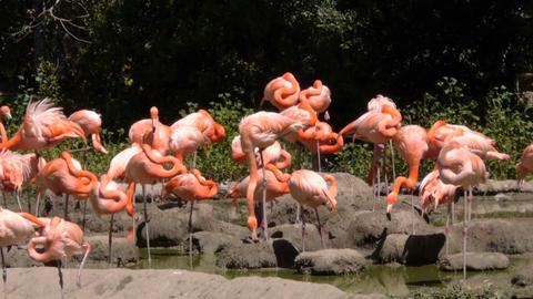 Pink flamingos Footage