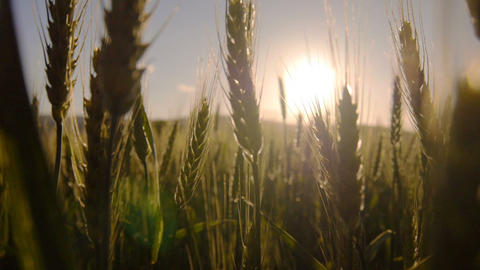 Sun shining through wheat Footage
