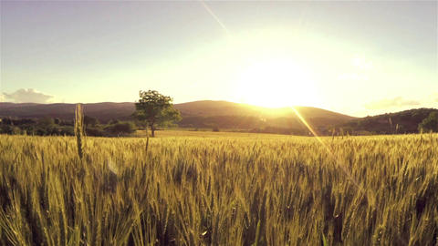 AERIAL: Flying over wheat field at sunset Footage