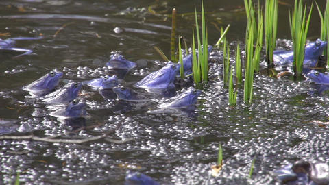 Blue frogs mating Footage