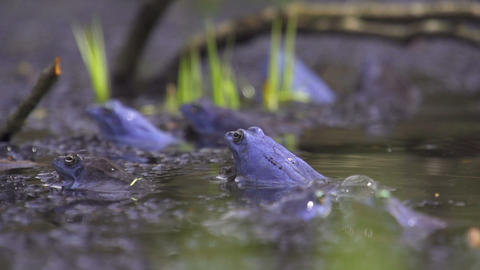 SLOW MOTION: Frogs mating Footage