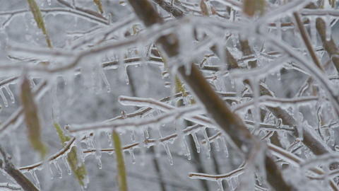 Frozen Hazel branch with catkins (aments) in winte Live Action