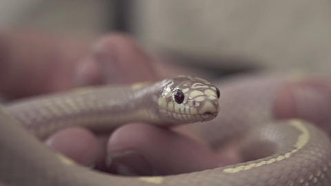 SLOW MOTION: Baby snake on human hands Footage