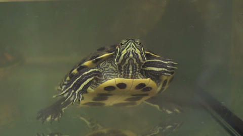 SLOW MOTION: Turtle Swimming stock footage