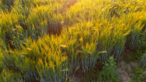 AERIAL: Flight over wheat field in the sunset Footage
