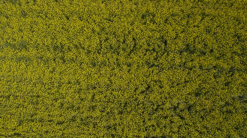AERIAL: Brassica rapa field Footage