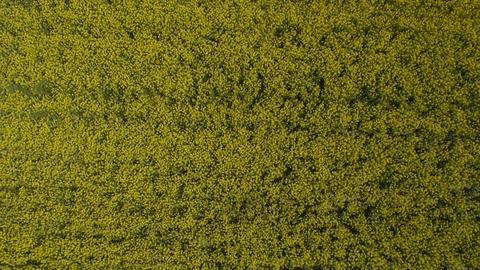 AERIAL: Brassica rapa field Footage