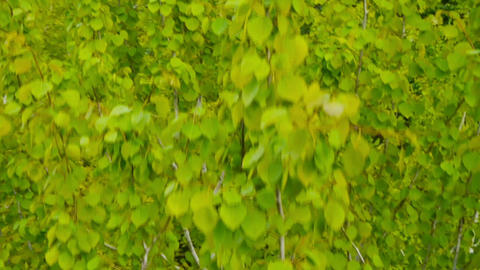 AERIAL: Linden tree leaves in spring Footage