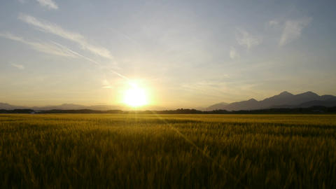 Wheat field in the sunset Footage