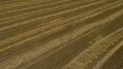 AERIAL: Wheat field Footage
