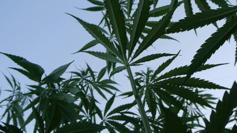 Marijuana field Stock Video Footage
