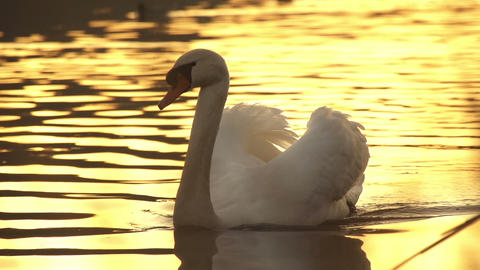SLOW MOTION: Swan at sunset Footage