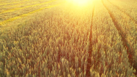 Flight over the wheat field in sunset Footage