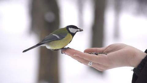 SLOW MOTION: Feeding wild birds in winter Footage