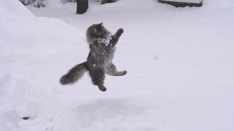 SLOW MOTION: Cat catching snowballs Footage