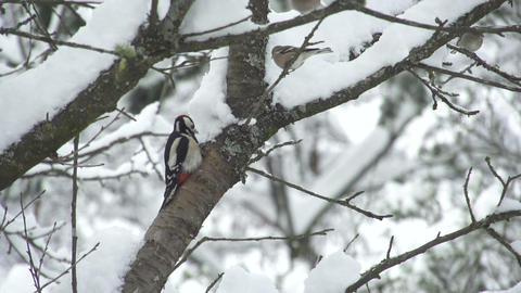 SLOW MOTION: Woodpecker searching for food Footage