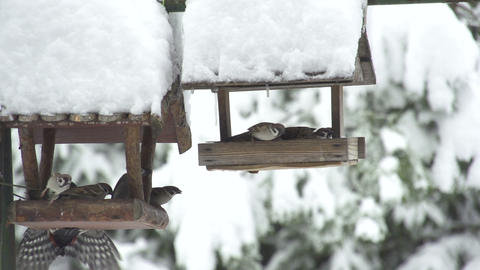 SLOW MOTION: Sparrows get scared of woodpecker Footage