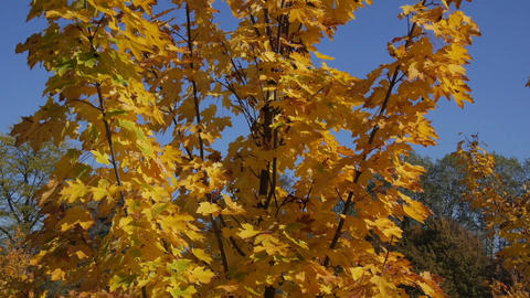 AERIAL: Around the autumn maple tree Footage