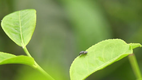 SLOW MOTION: Insect flies off the leaf Footage