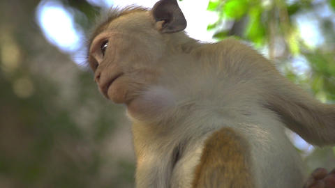 SLOW MOTION: Monkey eating in a tree Footage