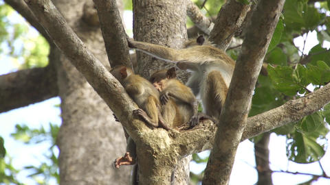 Monkey family sitting in a tree Footage