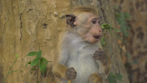 SLOW MOTION: Little monkey eating a banana Footage