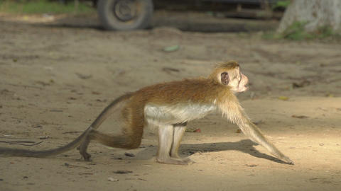 SLOW MOTION: Monkey taking a banana from a man Footage
